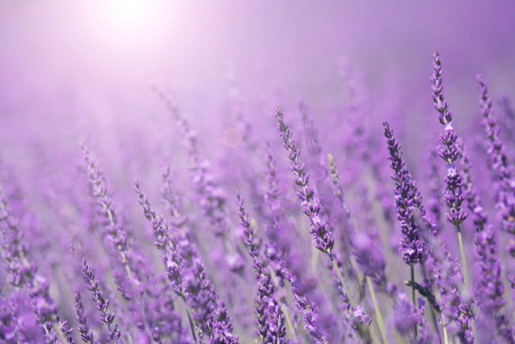 Purple violet color sunny blurred lavender flower field closeup background. Selective focus used.